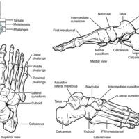 Bones of the Foot.jpg