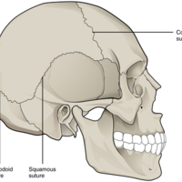 Suture Joints of Skull