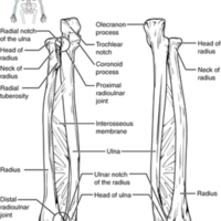 Ulna and Radius