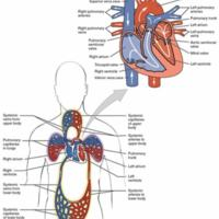 Chambers and Circulation through the Heart
