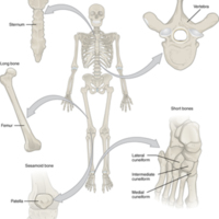 Classifications of Bones.jpg