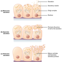 Modes of Glandular Secretion