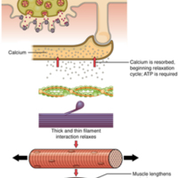 Relaxation of a Muscle Fiber
