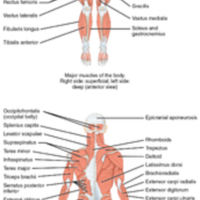 Overview of the Muscular System