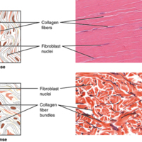 Dense Connective Tissue.jpg