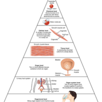 Levels of Structural Organization of the Human Body