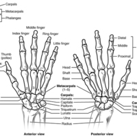 Bones of the Wrist and Hand