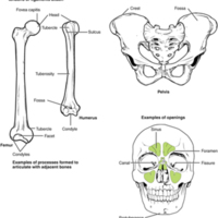 Bone Features.jpg