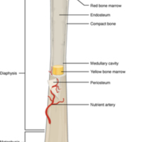 Anatomy of a Long Bone.jpg