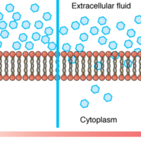 Simple Diffusion across the Cell (Plasma) Membrane