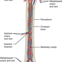 Diagram of Blood and Nerve Supply to Bone