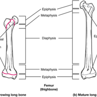 Progression from Epiphyseal Plate to Epiphyseal Line