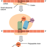 Translation from RNA to Protein