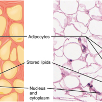 Adipose Tissue.jpg